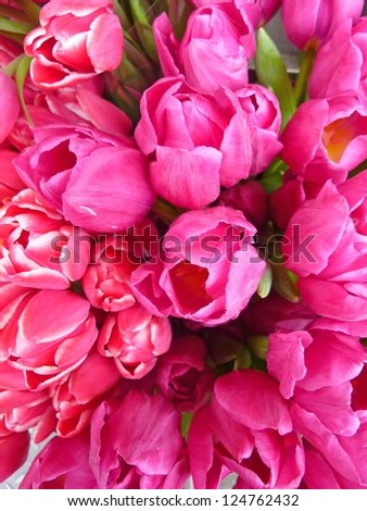 Bright hot pink tulips - stock photo
