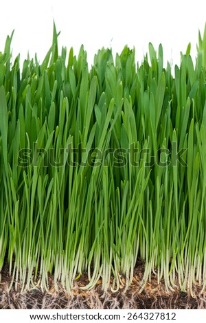 Bright juicy green grass with roots in the organic soil isolated over white background - stock photo