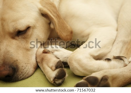 Bright labrador is sleepy and lies on blanket. - stock photo