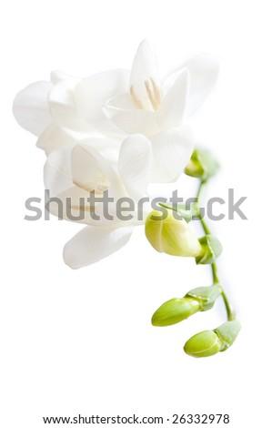 Bright light white fresia isolated against background - stock photo