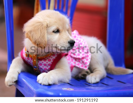bright little labrador puppy clothes   - stock photo