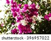 Bright lush flowering shrub, clusters of purple flowers - stock photo