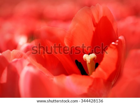 Bright nature background with red beautiful tulip - stock photo