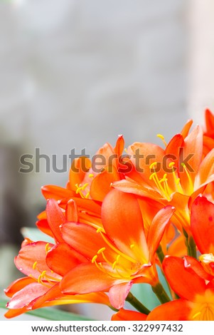 bright orange and yellow colored clivia flowers in a bunch with petal detail filling the frame - stock photo