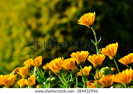 Bright orange flowers of calendula lt by warm sunlight. Summer sunset landscape. Selective focus at the upper flower.  - stock photo
