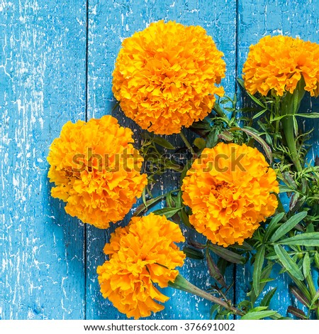 Bright orange marigolds on a blue wooden background with copy space. Square image - stock photo