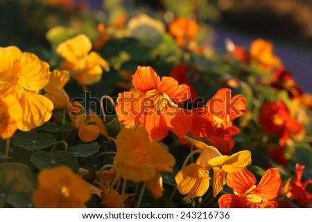 Bright orange nasturtium flowers glowing in evening sunlight - stock photo