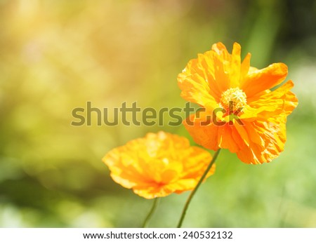 Bright orange poppy flowers in the field - stock photo