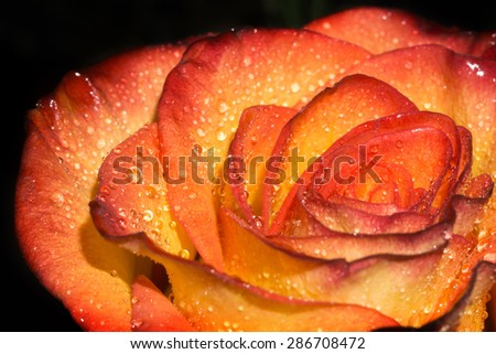 Bright orange rose with drops of water, macro photo.