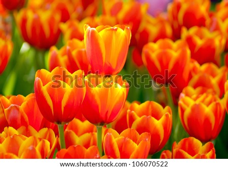 Bright orange yellow tulips in the park - stock photo