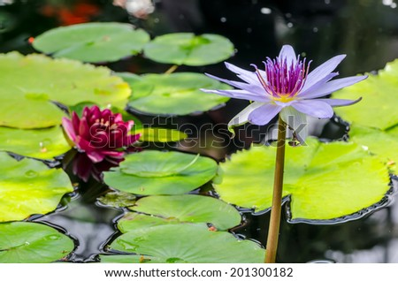 bright pink and purple water lily on a calm pond  - stock photo