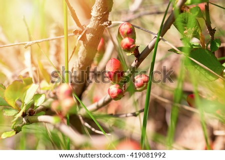Bright pink buds of a quince close up. Buds are lit with a sunlight on an indistinct light background. - stock photo