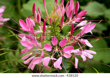 Bright pink cleome flower - stock photo