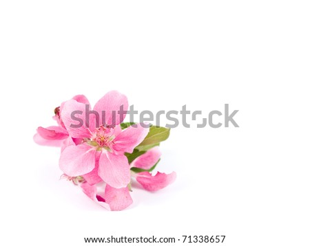 Bright Pink Clusters of Tree Blossoms Isolated on White - stock photo