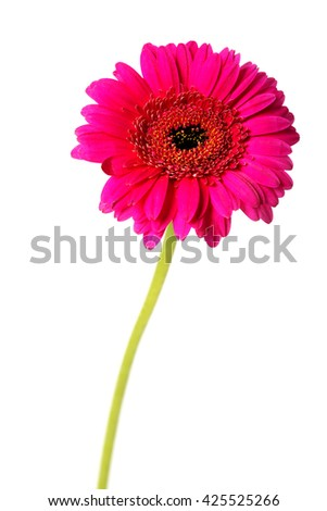 Bright pink daisy - stock photo