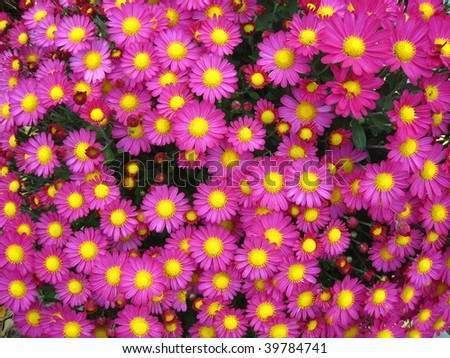 Bright pink fall flowers yellow centers stock photo royalty free bright pink fall flowers with yellow centers mightylinksfo