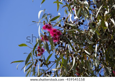 Bright pink flowers australian eucalyptus leucoxylon stock photo bright pink flowers of australian eucalyptus leucoxylon rosea yellow gum blue gum or white mightylinksfo