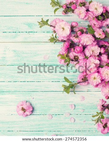 Bright pink   flowers on turquoise  painted wooden planks. Selective focus. Place for text.Toned image. - stock photo