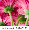Bright pink gerber daisies. View from behind showing stem and base of flower. Shallow depth of focus for beautiful mood. - stock photo