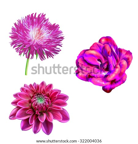 Bright pink Mona Lisa flower, Spring Dahlia flower, Aster flower.Isolated on white background - stock photo