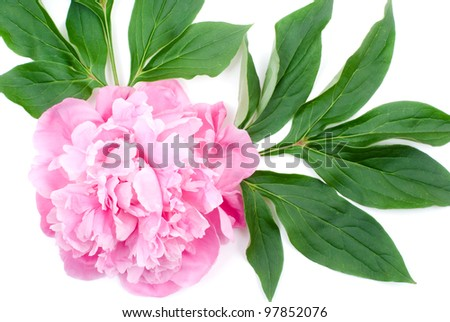Bright pink peony flower and leaves on a white background - stock photo
