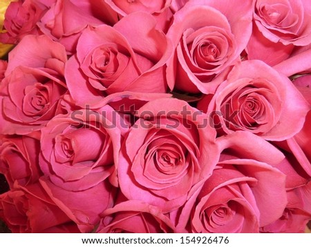 bright pink roses - stock photo