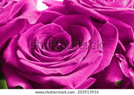 Bright pink roses closeup as a background