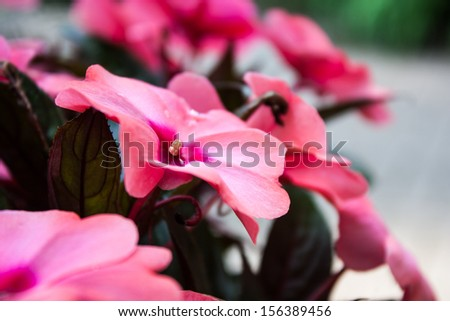 Bright Pink Sun Impatiens with selective focus.  Commonly referred to as Impatiens the scientific name is Impatiens wallerana - stock photo