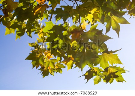 Bright platanus tree leaves backlit at sunset in Autumn