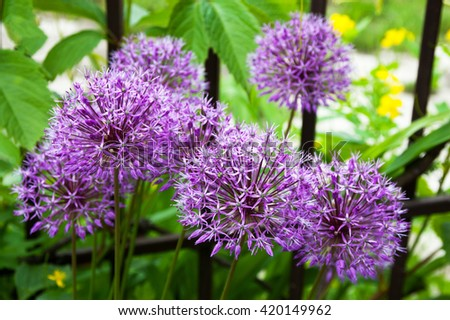 bright purple flowers are blooming in the home garden - stock photo