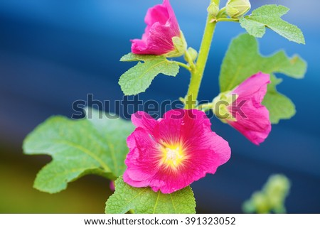Bright purple mallow flowers on blue bokeh background. Hollyhock flowers. Shallow depth of field. Selective focus. - stock photo