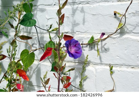 Bright purple morning glory and other vines and plants against a white brick wall - stock photo