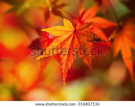 Bright red and orange Japanese maple leaf in mid autumn. - stock photo