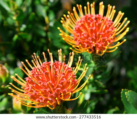 bright red and yellow protea flowers on plant with leaves in background - stock photo