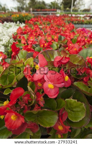 Bright red Begonias - stock photo
