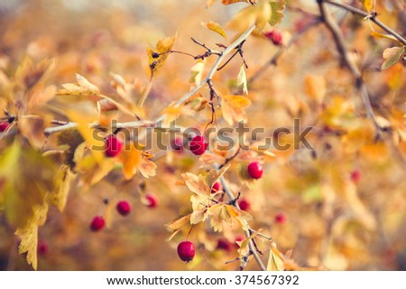 bright red berries and yellow leaves on a branch of hawthorn in autumn - stock photo