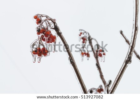Bright red berries of mountain ash covered with ice. Freezing rain picturesquely frozen trees. November. The arrival of winter. Russia.