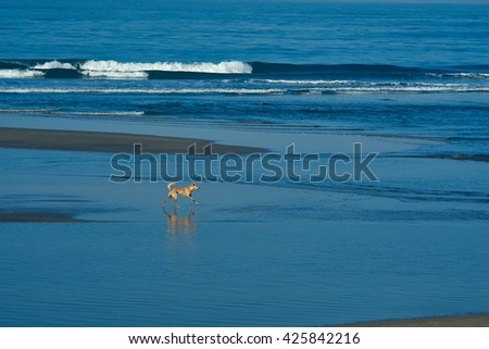 bright red dog walks along the shore of the blue sea - stock photo