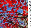 Bright red Fall leaves contrast on beautiful blue sky background in New York - stock photo