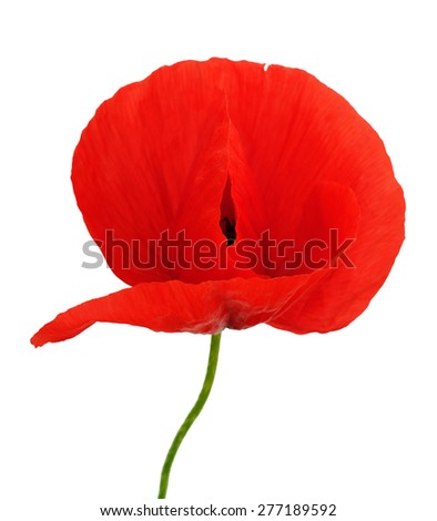 bright red flower of poppy isolated over white background - stock photo
