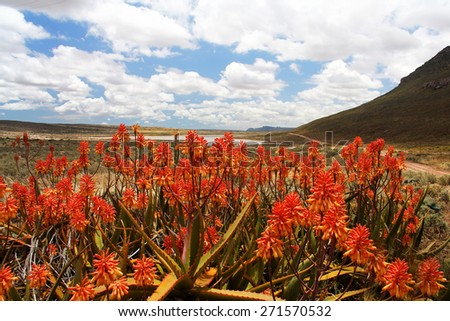 Bright Red Flowering Aloe Plants in Foreground of Scenic South African Mountain Valley with Lake and Cloudy Blue Sky