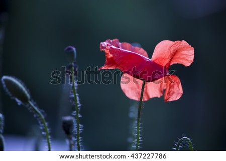 Bright red isolated poppy flower close-up against a green-blue background, macro nature wallpaper - stock photo
