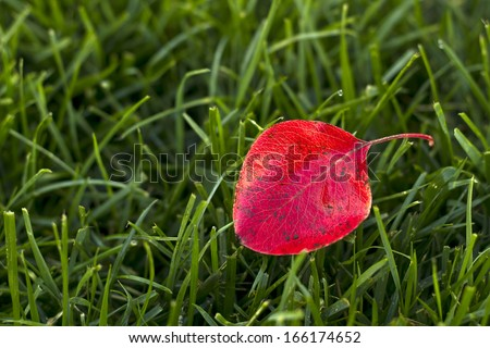 Bright red leave on green grass background, Fall theme