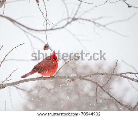 Bright red male Cardinalis cardinalis, Northern Cardinal bird sitting on a branch in heavy snow fall - stock photo