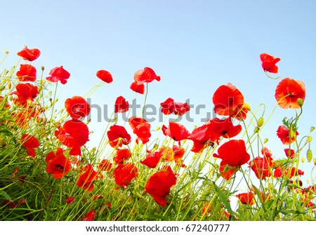 Bright red poppies - stock photo