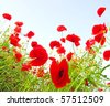 Bright red poppies in sunny day - stock photo