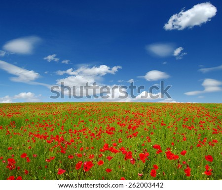 Bright red poppies on sun - stock photo