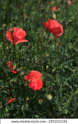 Bright red poppies on the meadow on a sunny day