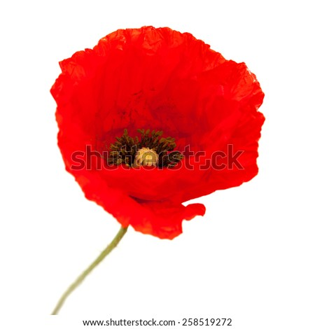 bright red poppy flower isolated on white background - stock photo