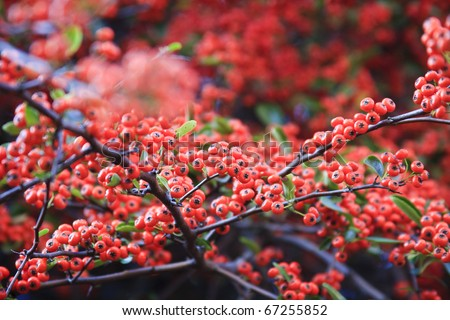Bright red pyracantha berries - stock photo